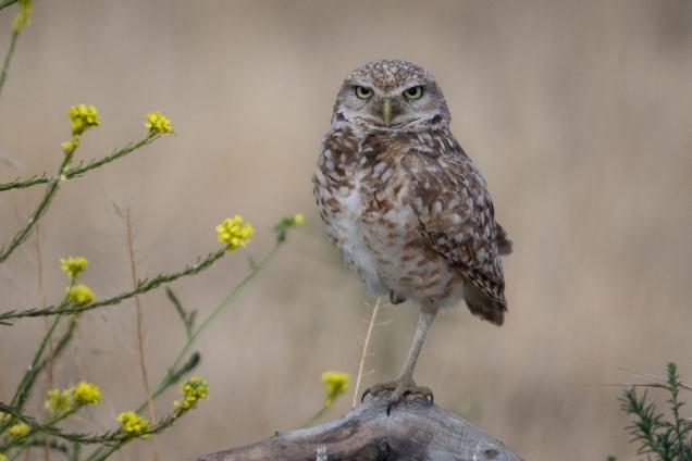 Owl_0164