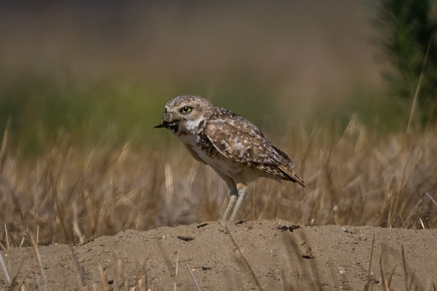 Owl_1308