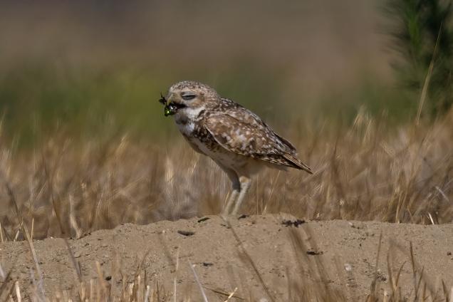 Owl_1312