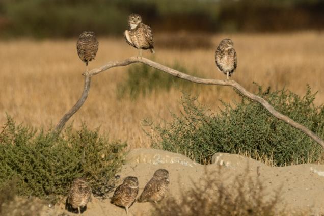 Owl_2682